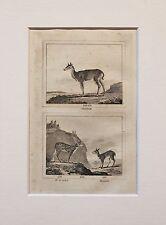 Buffon Antiguo montado impresión c.1800 - grabado-Ciervos Antílope Gacela