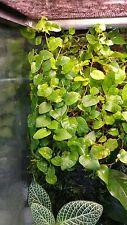creeping fig vine terrarium plant (ficus pumila)