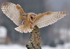 Owl in Winter Birthday Greetings card -  Nature Wildlife Birds Cards & freepost