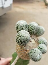 One Pelecyphora aselliformis Unrooted Cactus Cutting
