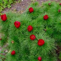 10 Pcs Lot Tenuifolia Peony Seeds Double Flowering Fernleaf Peony Rubra Plena S