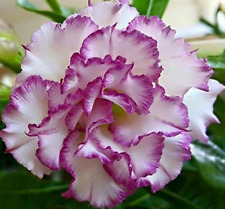 10 pcs  # PW  Desert Rose Flower Adenium obesum Seeds  AMERICAN SELLER !