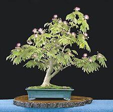 25 Mimosa Persian Silk Seeds Albizia Julibrissin Bonsai - Combine Shipping