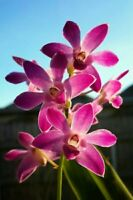 Beautiful Scented Orchid plant-  DENDROBIUM 'Berry Oda' 1 x KEIKI  🌸