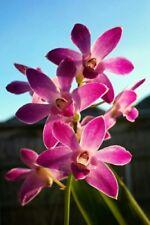 Beautiful Scented Orchid KEIKI -  DENDROBIUM 'Berry Oda' 1 x KEIKI  🌿🌺🌿