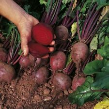 BEETROOT BOLTARDY  800 FINEST SEEDS ** FREE UK P&P**