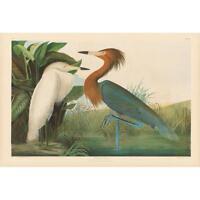Audubon Bien Reddish Egret Print