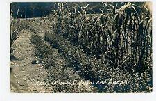 Korean Clover RPPC Alfalfa & Sudan—Antique Farm Agriculture Garden Photo 1910s