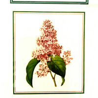 Orenco Lilac Bloom Cross Stitch Pattern Pierre-Joseph Redoute' Lilac 2007 Flower