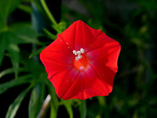 Cardinal Climber Ipomoea Sloteri Morning Glory 8 Seeds - Limited Supply