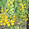 Tomato GOLDWIN F1 seeds Prof Yellow Cherry tomatoes 10 seeds 50 seeds 100 seeds