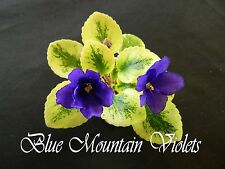"African Violet Plant ""Rob's Shadow Magic"""