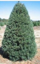 1000-2 year old scotch pine or scott's pine saplings 12-16inch tall fast growing
