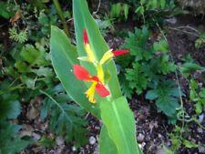 2xCANNA EREBUS PINK plants
