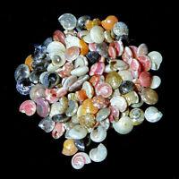 Umbonium vestiarum common button top seashells 7mm- 10mm  25g 120-140 shells