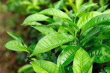 Huile essentielle de Tea Tree - 100% pure et naturelle