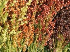 3520mg Broomcorn Seeds Rainbow Mix ~Beautiful Ornamental Plant Broom Sorghum