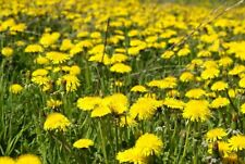 100 Dandelion Seeds Mixed Yellow Flower Flora Organic Wild Grass Tortoise Food