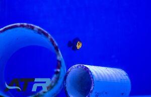 Dwarf Pygmy Angel, Herbivore, Nano Fish, Blue & Yellow, Peaceful, ATR