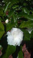 """Giant Double White Flower Gardenia 1 Live Plant 8"""" Tall"""