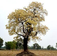 10 seeds Shorea White meranti  Shorea roxburghii rare fragrant flower hard wood