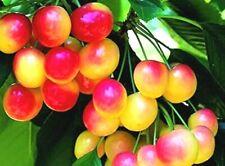 "Prunus avium cherry tree SEEDS ""Rainier""~Sweet fruit tree seeds"