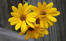 250 Swamp Sunflower Helianthus Angustifolius Seeds - Gift - COMB S/H