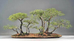 Quick and Easy Indoor Bonsai Trees From Seed - Acacia - 5 seeds #9433