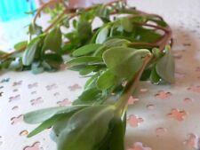 4000 graines de Pourpier Vert d'été (Portulaca Oleracea S.)H862 SUMMER PURSLANE