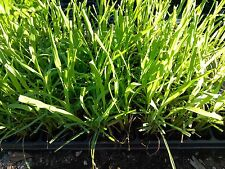 "LEMON GRASS  - MOSQUITO GRASS - HERB - 20 PLANTS - LIVE PLANTS - 2"" POTS"