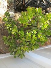 Rooted 4'' Jade House Plant Succulent Crassula Ovata Cutting Drought Resist