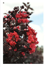 CRAPE MYRTLE Tree Bush Live Plant  Best Red 2 - 3 Feet Bare Root Ball