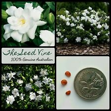 10+ CAPE JASMINE SEEDS (Gardenia jasminoides) Hedge Flower Fragrant Bonsai