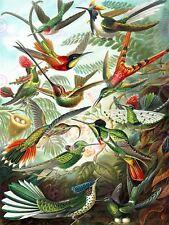 Nature Biology Bird Humming Ernst Haeckel Germany vintage poster print 865 pylv