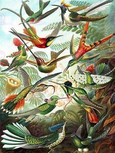 NATURE BIOLOGY BIRD HUMMING ERNST HAECKEL GERMANY VINTAGE POSTER PRINT 865PYLV