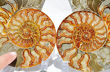 "Dinosaur PAIR Ammonite MultiColor Crystals LARGE 164mm 110myo FOSSIL 6.5"" n1648"