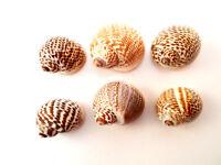 "6 Striped Nautica Tigrina Shells 3/4""-1"" (20-25mm) Small Hermit Crabs Crafts"