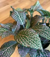 Pink Veined Nerve Fittonia Live Plant Easy Houseplant Indoor