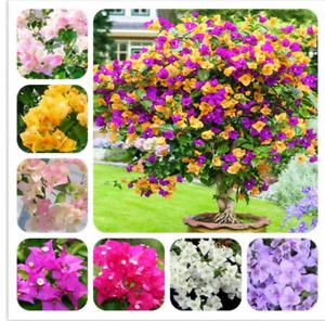 100Pcs Bougainvillea Flower Seeds Rare Colorful Bonsai Pereninal Garden