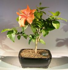 Flowering Tropical Hibiscus Bonsai Tree (rosa sinsensis)