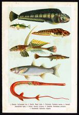 Antique Fish Print-DRAGONET-MULLET-WOLF-Lithograph-1906