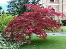 50 semi acero rosso giapponese japan acer palmatum