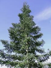 CONIFER COLLECTION- NEED NO STRATIFYING.JUST SOW/GROW