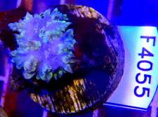 Taiwan Bubble Mushroom Coral - Wysiwyg