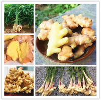 Ginger Bonsai Balcony Organic Vegetables Potted Plant Zingiber 100 Pcs Seeds NEW