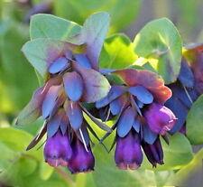 Blue Shrimp Plant/Honeywort Cerinthe Major Flower 10 Seeds