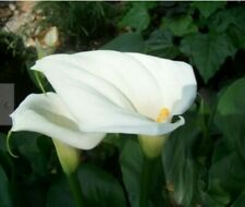 New listing Giant White Long Stem Calla Lily Arum bulbs indoor/outdoor pond water garden