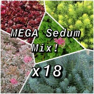 18 x Sedum MEGA Mix Rooted Cuttings Red Voodoo Stonecrop Reflexums Tricolor Pink