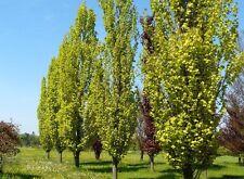 Fagus sylvatica Dawyck Gold / Upright Beech tree, grown peat free in 3L pot, 4ft