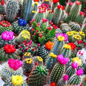 Seeds Indoor Cacti Cactus Mix Succulents Barrel Beatuful Plant Garden Ukraine
